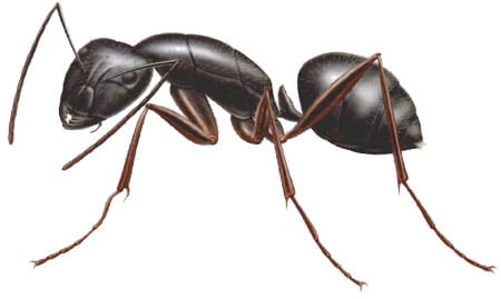 Read more about the article Carpenter Ants: Identification, Treatment, and Prevention