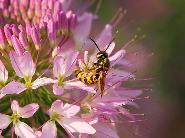 Yellow jacket on pink flower