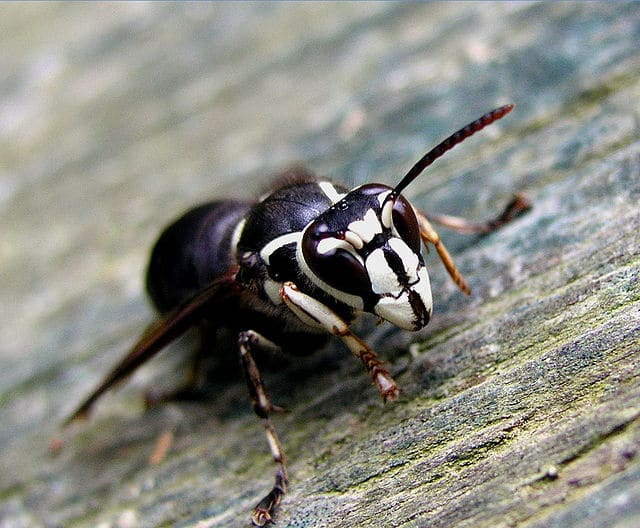 A large bald faced hornet resting on a piece of wood