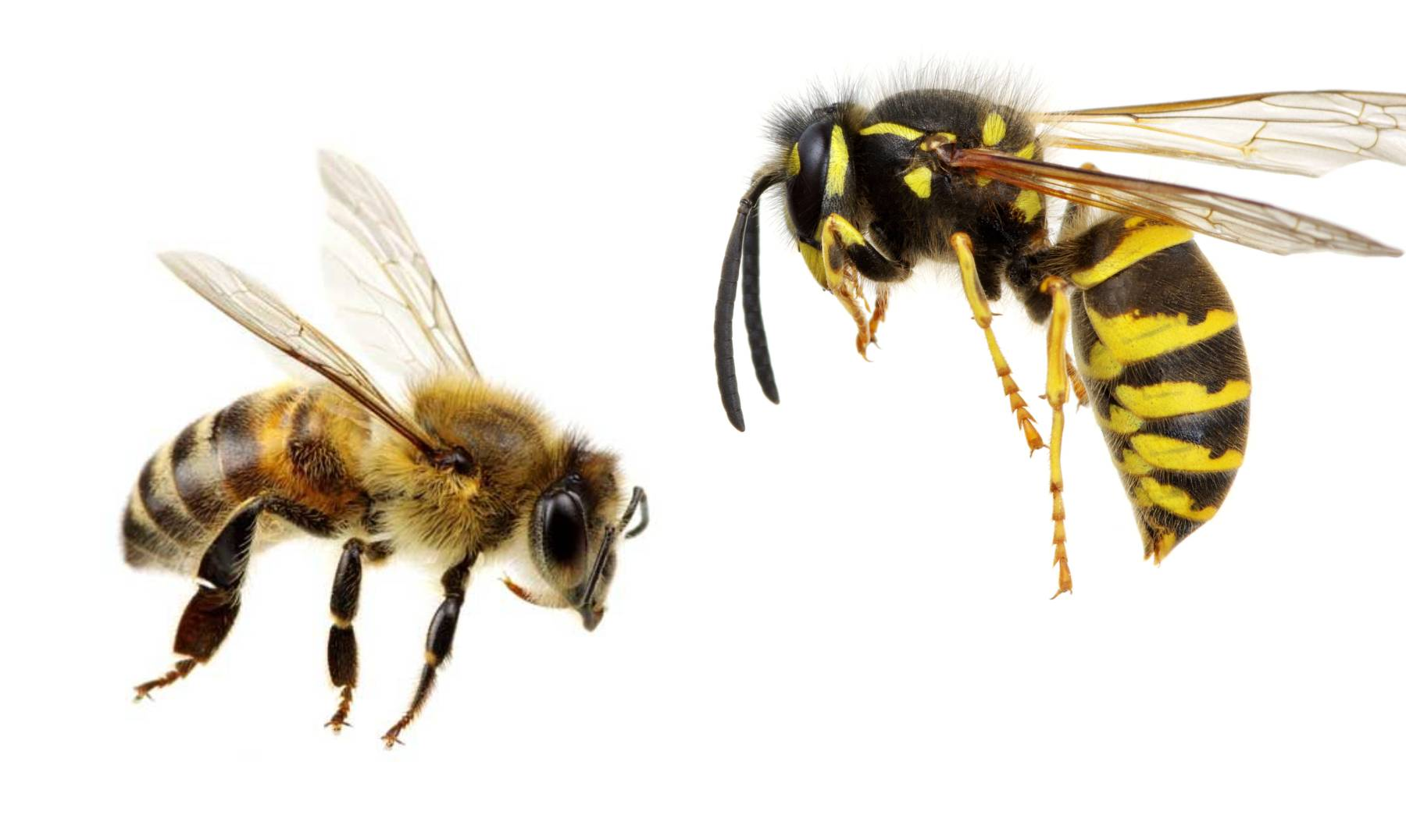 Read more about the article Bees and Wasps in Washington