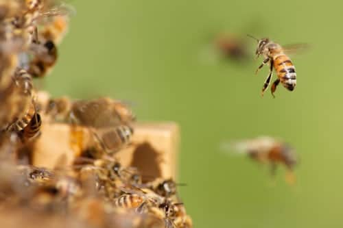 A swarm of honey bees just outside the hive