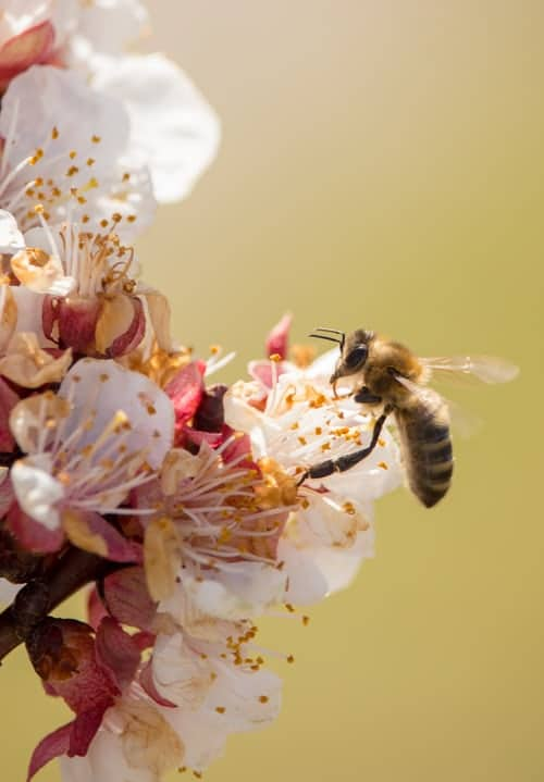 A honey bee pollinating a pink flower