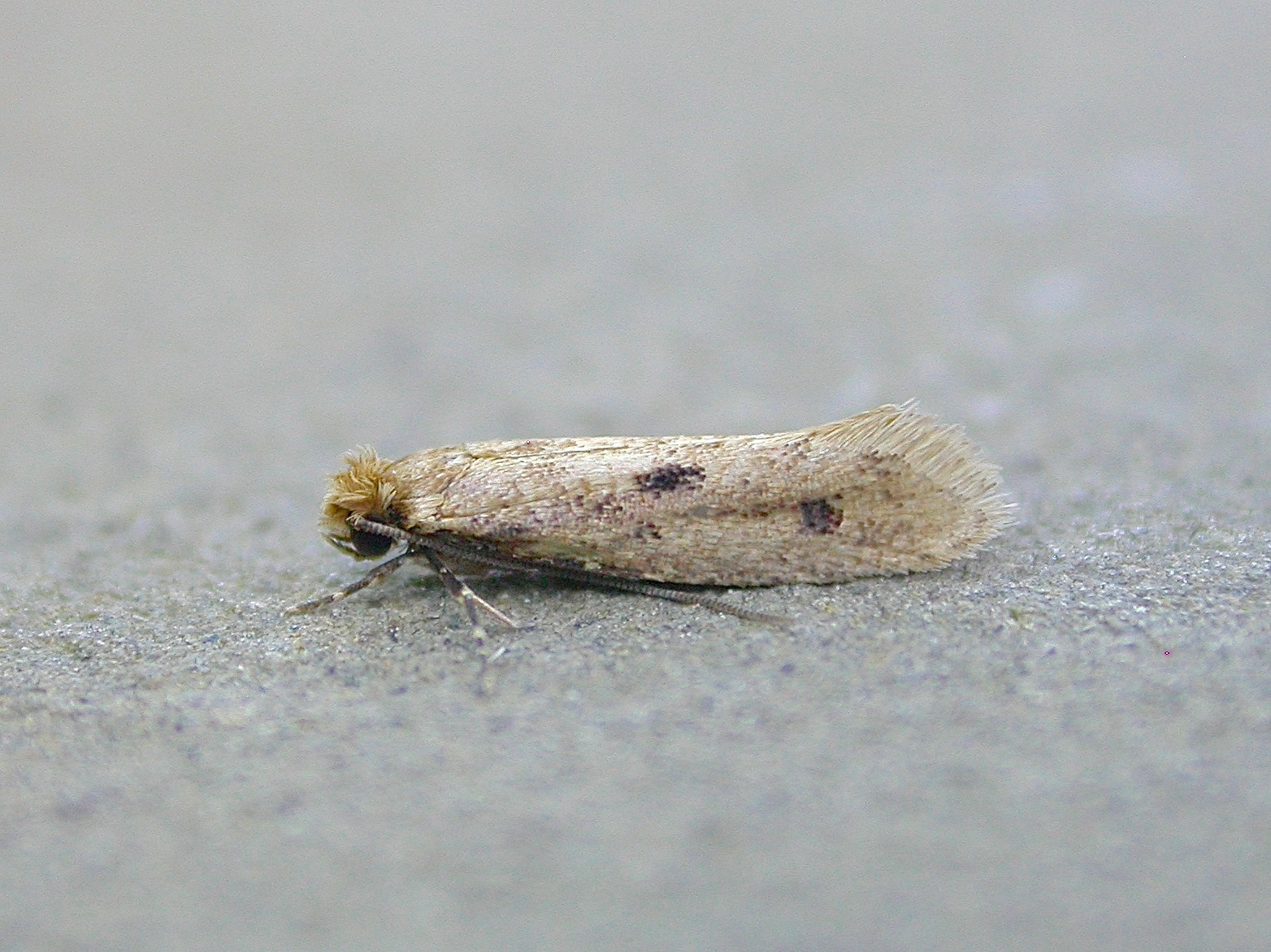 A casemaking clothes moth on a grey background
