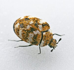 A varied carpet beetle on a white background