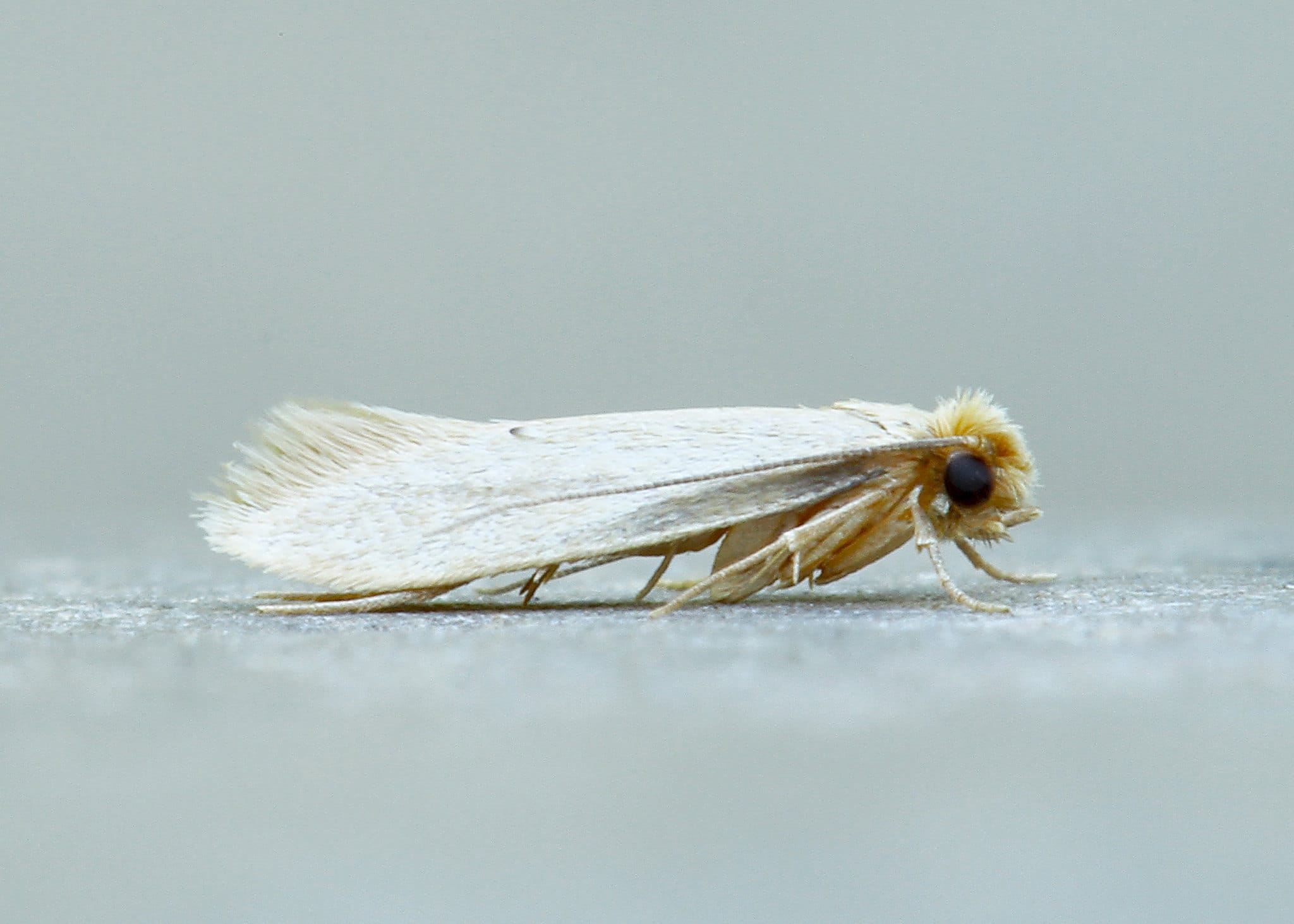 A webbing clothes moth on a white background